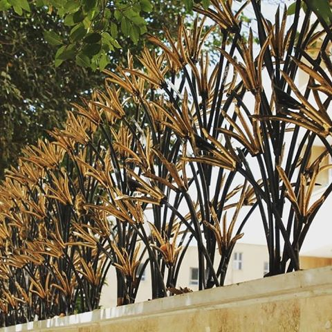 شاخ گوزنی لیلوم